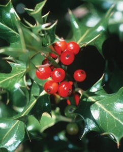 holly-berry