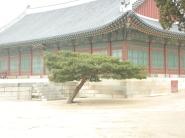 A Bonsai Tree in Gyeongbokgung Palace